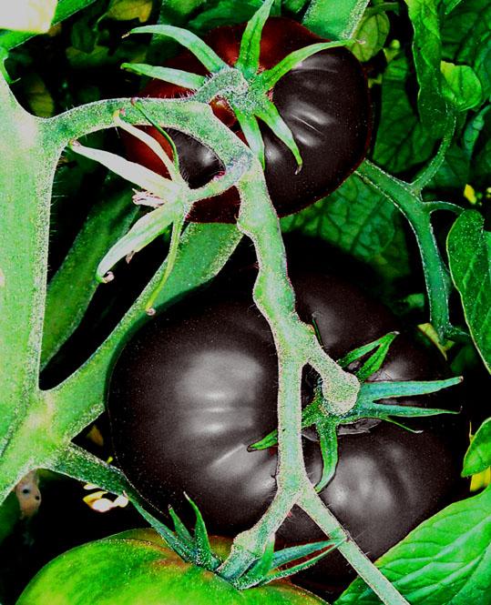 3ブラックトマト《6流》《6流》《41流》.jpg